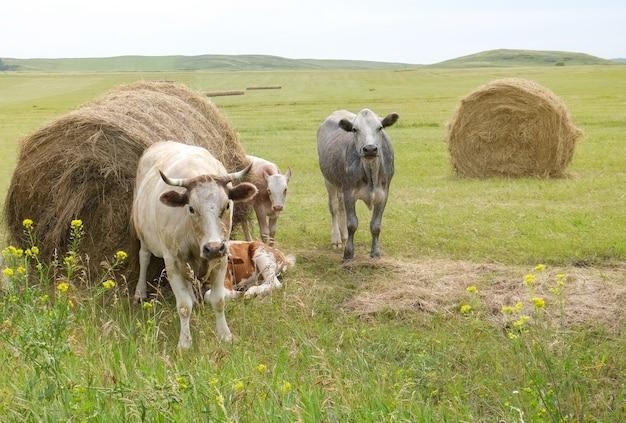 Vaches et veaux de boucherie paissant sur le terrain manger du foin et de l'ensilage