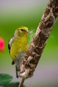 Vadnais heights minnesota mâle chardonneret jaune carduelis tristis la collecte de matériel de nidification à partir d'une queue de chat