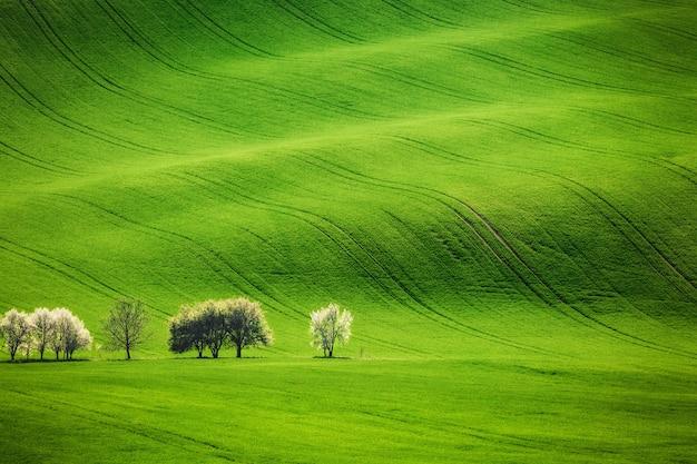Vagues de champ avec des arbres en fleurs au printemps