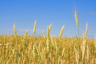 De valeur du blé