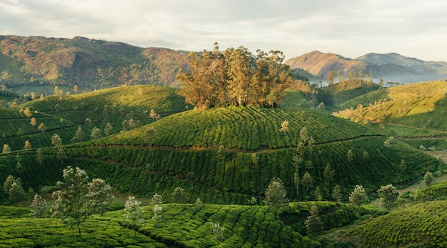 Vallées vertes des plantations de thé de montagne à munnar