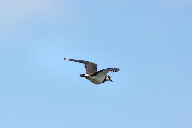 Vanellus dans le ciel