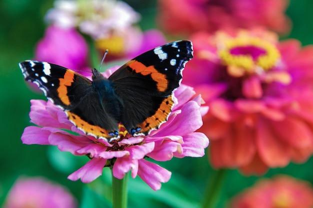 Vanessa atalanta papillon sur jardin rose fleur de zinnia