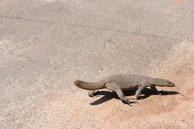 Varan dans la rue au sri lanka à hikkaduwa.
