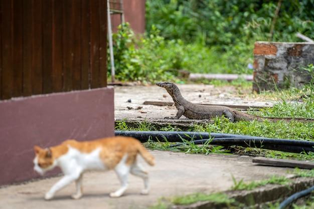 Varan d'eau et chat domestique dans la cour de l'île de bornéo, malaisie