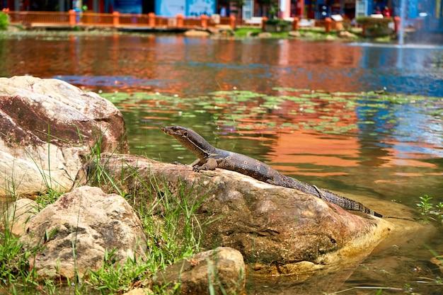 Varan se réchauffe sur les rochers du lac du parc.