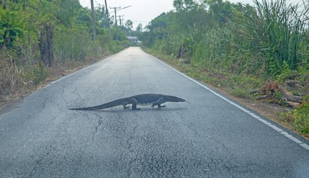 Varanus rampe lentement sur la route, mise au point sélective