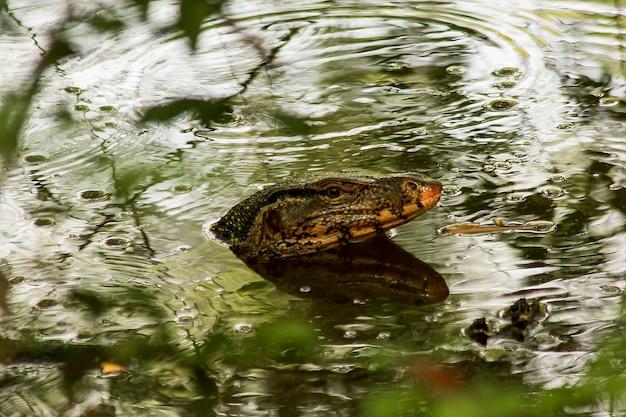 Varanus salvator dans l'eau comme un reptile