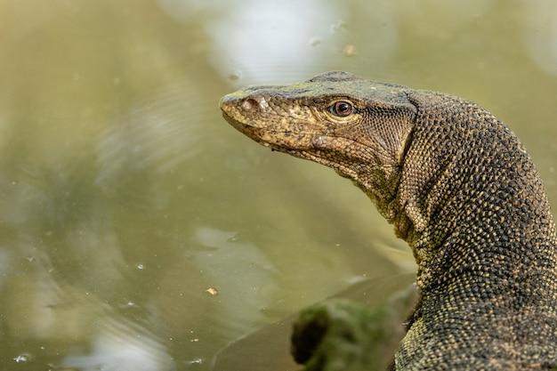 Varanus salvator, varanus salvator, dans la réserve de zone humide de sungei buloh