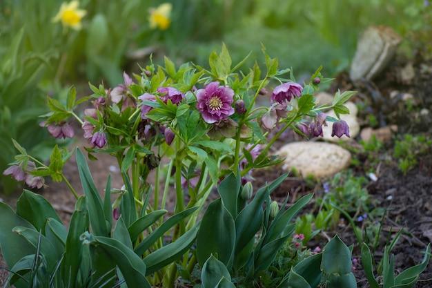 Variation d'hellébores à fleurs doubles idéale pour le jardin d'hiver