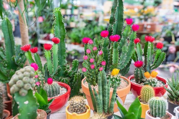 Variété de petits cactus en fleurs colorés en magasin de plantes.