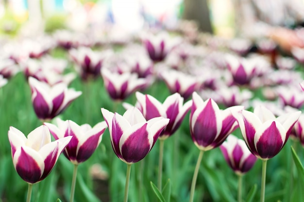 Variété de tulipes pourpres. tulipes violettes