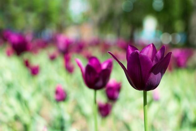 Variété de tulipes pourpres