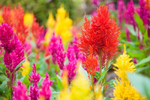 Variétés de fleurs colorées de celosia plumosa, de crête de coq à plumes ou d'un peigne à coq