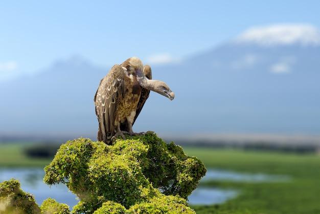 Vautour, grands oiseaux de proie assis sur une montagne rocheuse, sur le mont kilimandjaro. habitat naturel, parc national de masai mara, kenya, afrique. scène de la faune