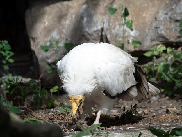 Le vautour percnoptère neophron percnopterus mange du gibier