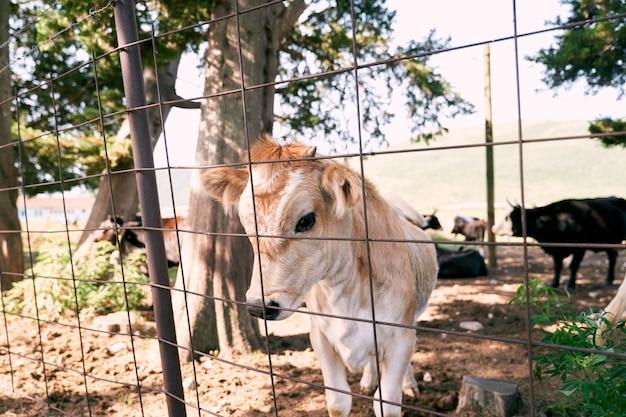 Le veau brun se tient derrière une clôture dans un pâturage en gros plan