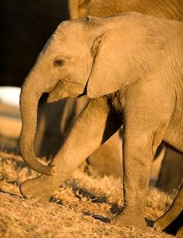 Veau d'éléphant et sa mère