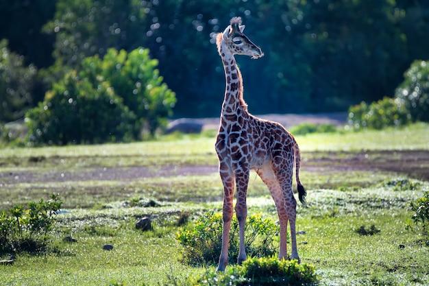 Veau girafe sauvage en savane