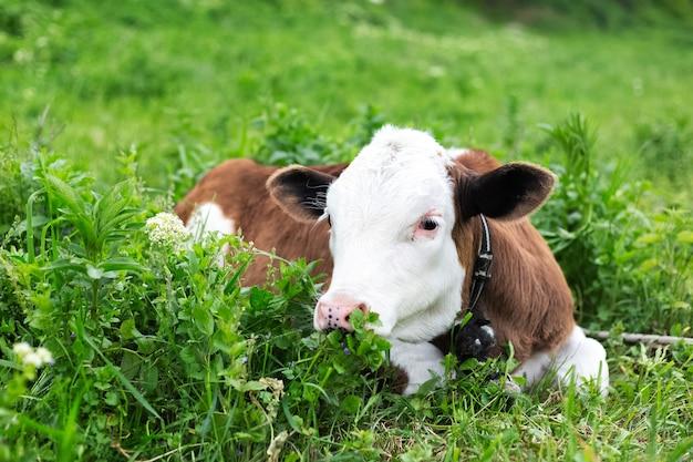 Veau mignon couché dans l'herbe verte du pré.