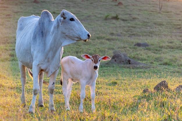 Veau et vache bovins nellore au pâturage