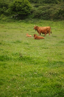 Veaux bruns dans une prairie asturienne