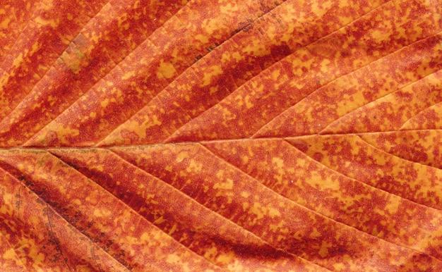 Veines de feuilles abstraites avec espace de copie. automne brun laisse fermer.