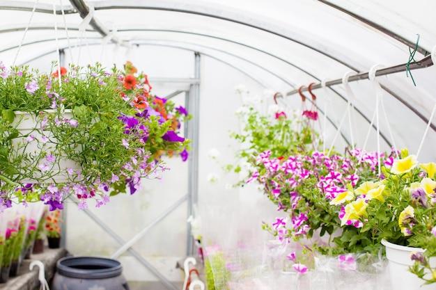 Vente de pétunias multicolores cultivés en serre. mise au point sélective.