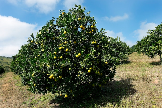Verger d'oranges
