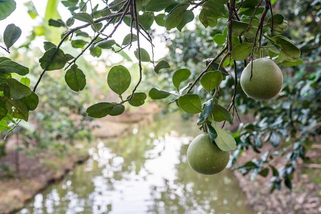Verger de pomelo en thaïlande.