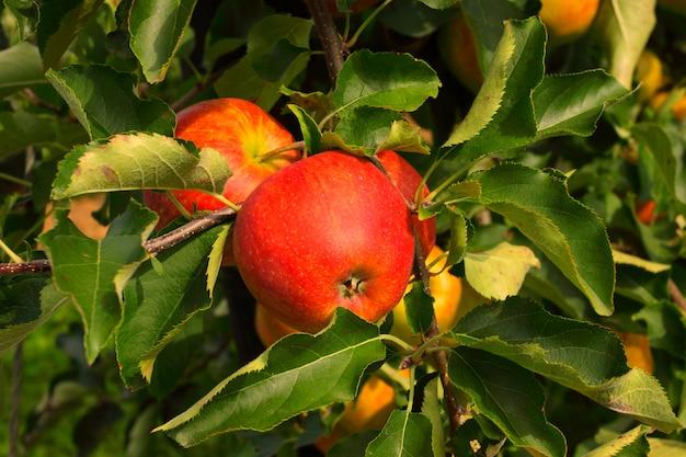Verger de pommiers en été, recouvert de pommes colorées