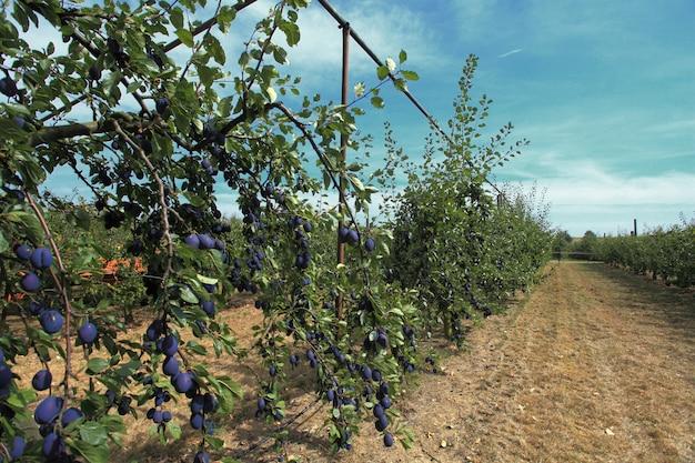 Verger de prunes violettes et quetsch