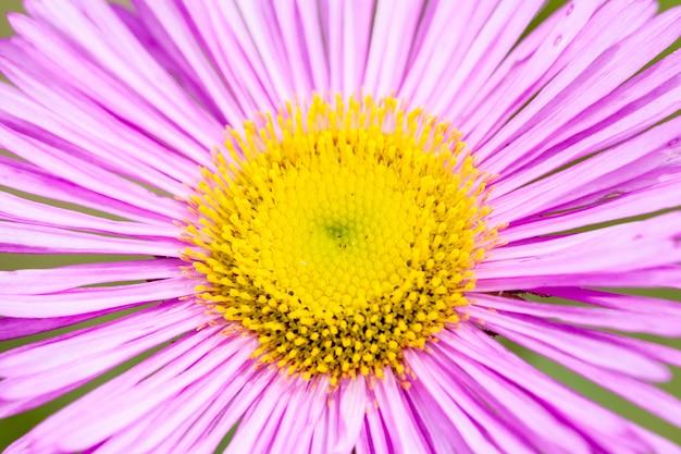 Vergerette du mexique ou erigeron karvinskianus en fleur.