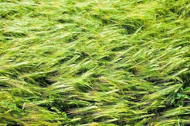 Véritable champ de blé vert biologique avec des brins d'herbe, champ agricole à haut rendement, europe de l'est, culture de blé et pas encore mûr