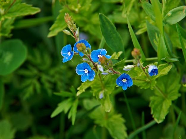 Veronica chamaedrys. espèce herbacée vivace de plante à fleurs de la famille des plantains plantaginaceae.