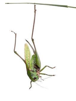 La verrue femelle (decticus verrucivorus) est un buisson-grillon