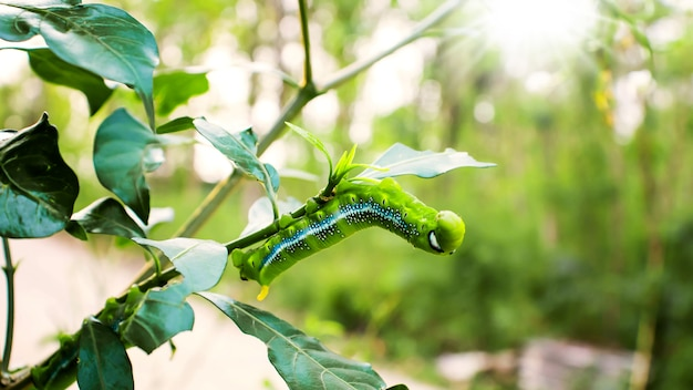 Les vers verts sont sur les feuilles vertes et sur fond naturel.