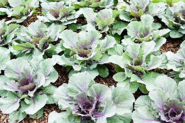 Vert de chou vert frais biologique dans le jardin pour les besoins nutritionnels quotidiens