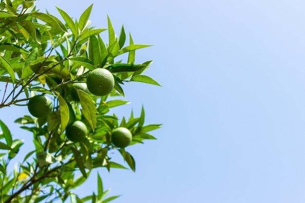 Vert jeune feuille de citron sur le ciel bleu