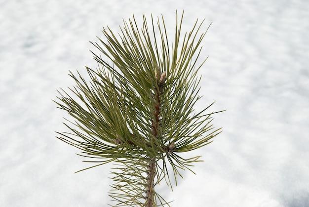 Vert jeune sapin dans la neige blanche