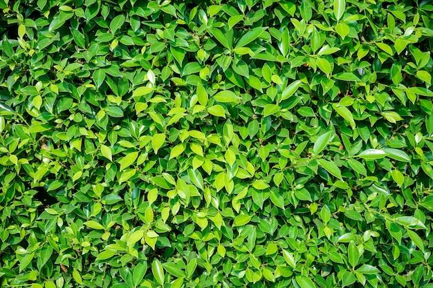 Vert naturel de mur de feuilles vertes