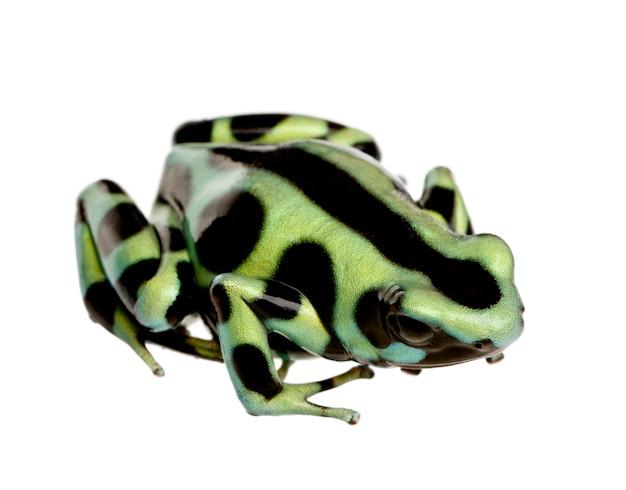 Vert et noir poison dart frog - dendrobates auratus sur un blanc isolé