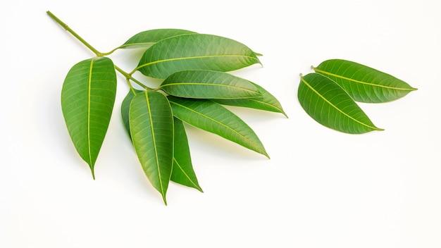 Vert, prune marial, feuilles, blanc, fond