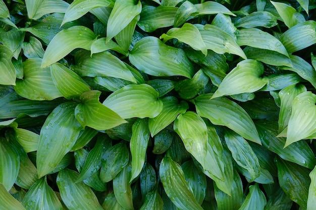 Le vert quitte les hôtes après la pluie. fond de feuilles vertes avec des gouttes de pluie.
