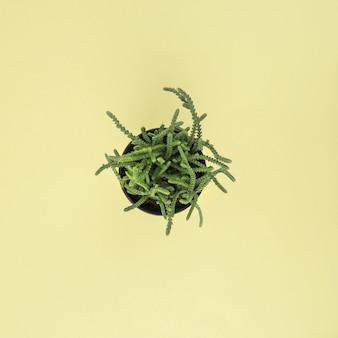 Vert succulent en pot