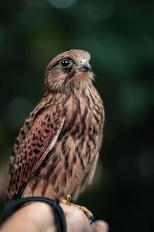 Vertical d'un faucon sur la main d'une personne