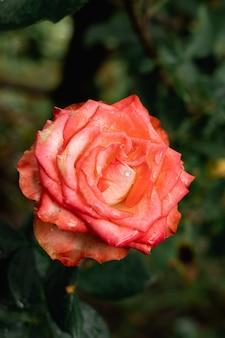 Verticale d'une rose vibrante