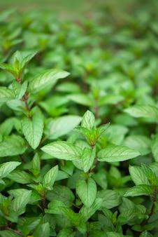 Verts d'été juteux. plante de menthe poussent au potager