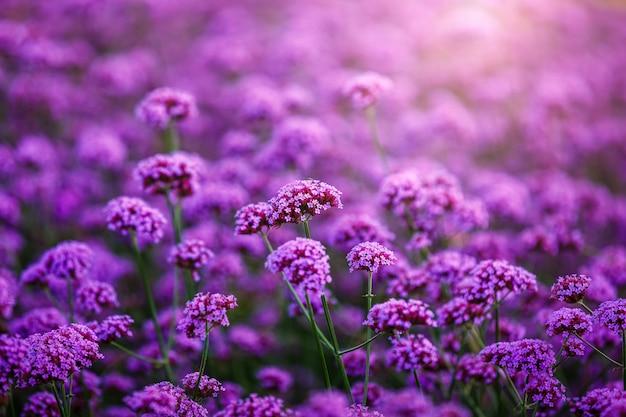 Verveine bonariensis, fleurs, champ