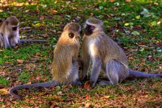 Vervet singes des singes
